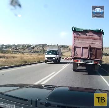 Неуправляемые свиньи на трассе... Николаевская область