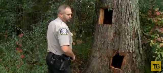 Пожарным пришлось выпиливать застрявших в дереве медвежат (8 фото)