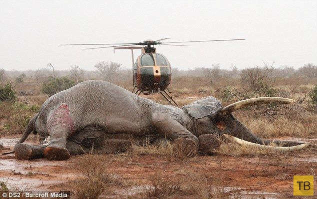 Спасение слона, раненого ядовитой стрелой (7 фото)