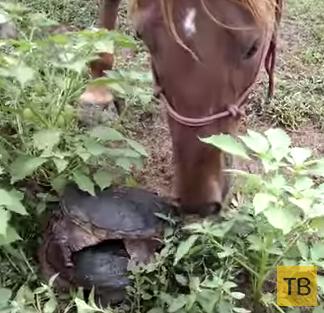 Злобная черепаха