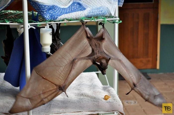 Клиника для раненых летучих мышей в Австралии (12 фото)