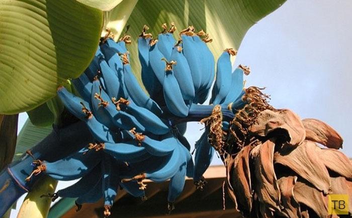 Топ 10: Самые редкие и необычные виды бананов (11 фото)