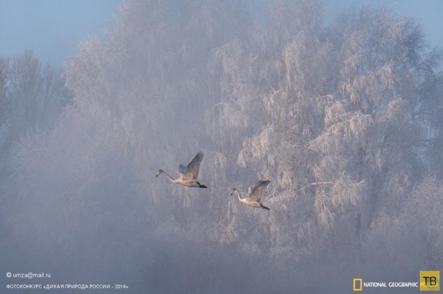 Лучшие фотографии дикой природы России (33 фото)