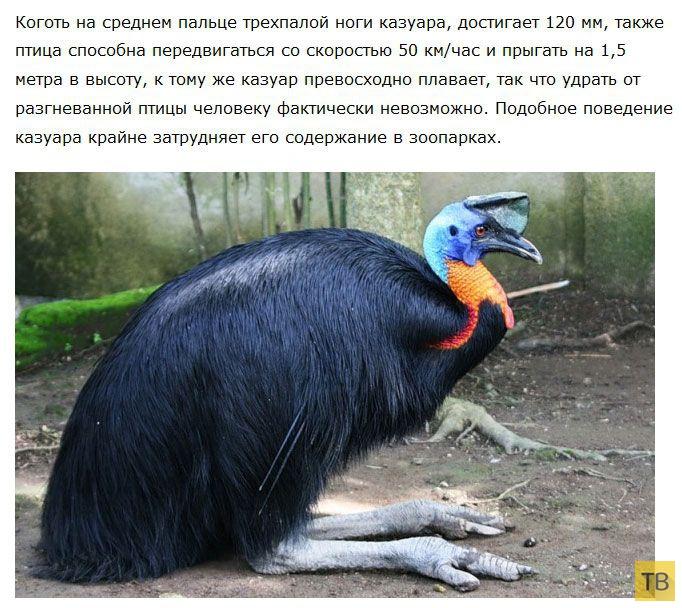 Казуар - самая опасная птица в мире (5 фото)
