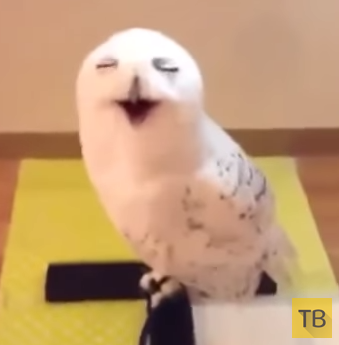 Как смеется сова