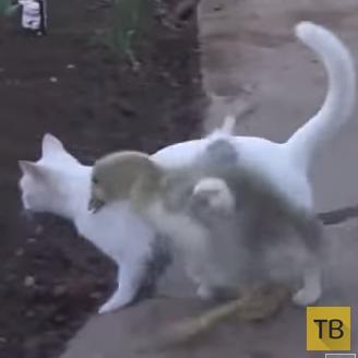 Гусь, которому не удалось вывести кота из равновесия