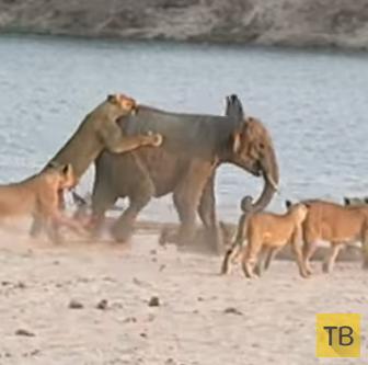 Юный слоненок отразил атаку 14 голодных львов...