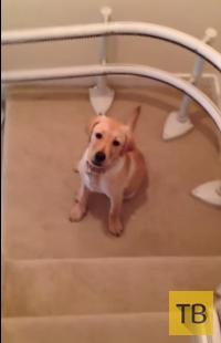 Лучший способ спуститься по лестнице от щенка лабрадора