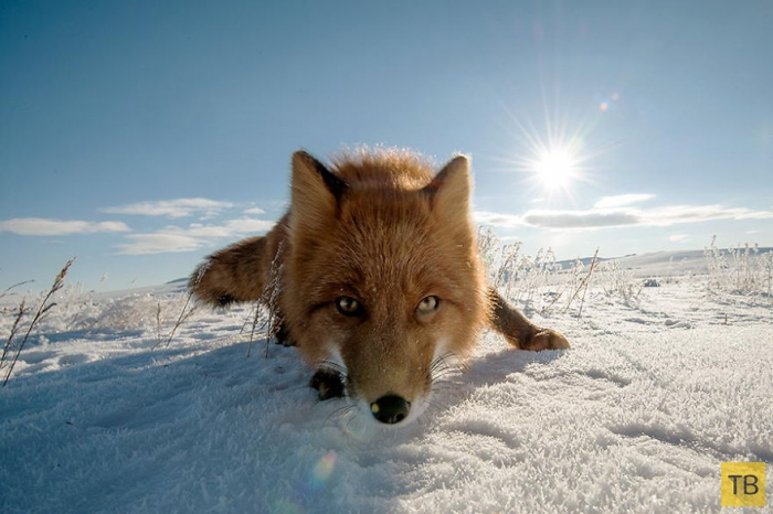 Фотографии лисиц от фотографа Ивана Кислова (29 фото)