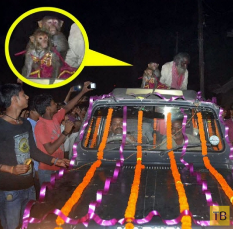 Шикарная свадьба обезьян в Индии (5 фото)